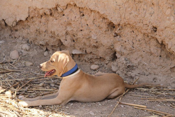 A local dog wearing a blue-black-and-white collar. Domesticated by British soldiers 2011