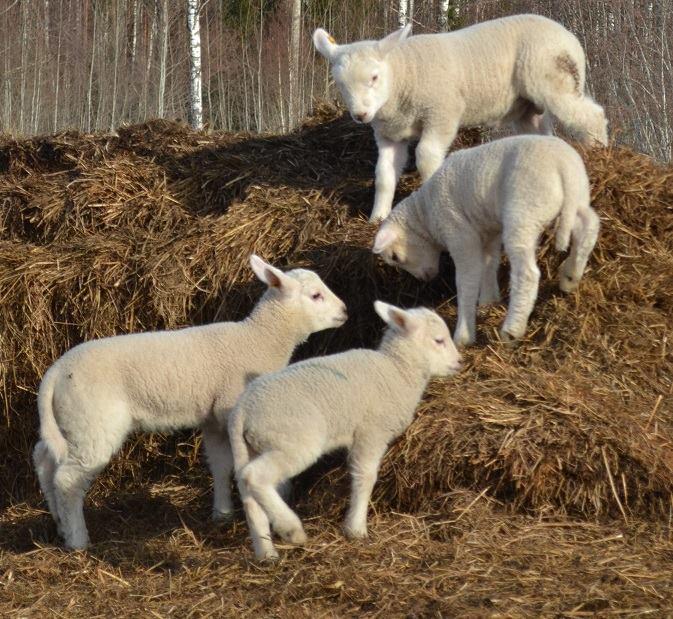 My own sheep II