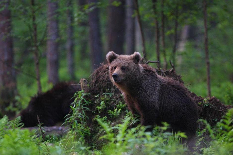 Forest bear - Remo Savisaar