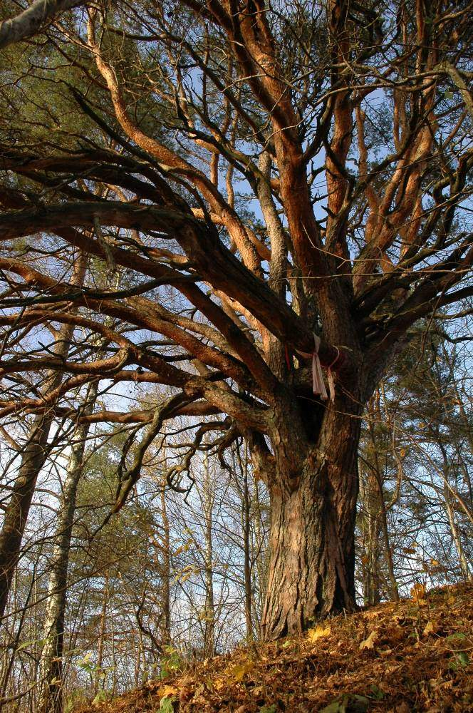 Sacrificial pine tree of Lalli in Tartu county - photo by Pille Porila
