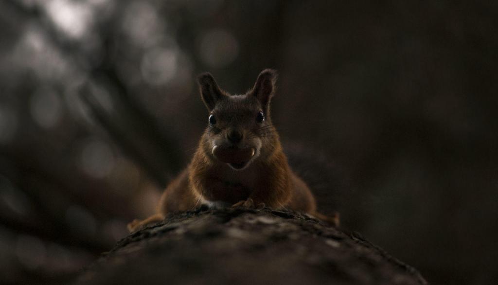 """Oli tavaline reede pärastlõuna, istusin kodus, kui üks hetk märkasin akna taga askeldavat oravat. Jälgisin teda päris pikalt ja üritasin toast isegi pilte teha, mis aga ei õnnestunud. Otsustasin, et muud moodi temast pilti ei saa, kui peab õue minema. Jälitasin teda natuke aega, ja ürtasin teda kaadrisse saada. Peale natukest aega, muutus sõber ise julgemaks ja krabistas lähemale, arvatavasti uudishimust, kuni üks hetk oli päris lähedal. Käis katiku """"klõps"""" ja ta kiirustas minema."""