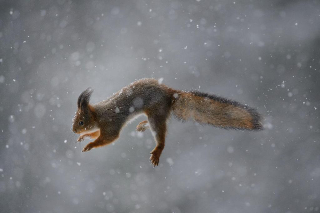 """On pargioravad ja metsaoravad. Selle pildi kangelane on metsaorav, sajaviiekümne aastase kuusiku asukas. Pildile on """"külmutatud"""" väleda looma läbi tiheda lumesaju kulgev õhulend."""