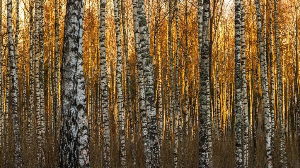 Kuldne päike ja valged kasetüved. Kevad tuleb oma värvidega ja must-valge aeg saab otsa, isegi must-valged kased rõõmustavad.