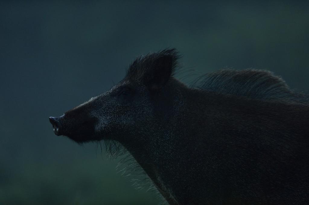 Metssiga on meil peamiselt ikka öise eluviisiga loom, kuid sel ajal on tema jäädvustamine loomulikus, kuid olematus valguses võrdlemisi keeruline. Suvel kui appi tõttas kerge udu ja kontrakuma, õnnestus üks selline punkarit meenutav metsseahakatis kaadrisse püüda. Nagu näha võib suvine karvkate neil loomadel olla vahel üsna raju ning ööhämaruses kerkib selline turris hari veel omamoodi süngelt esile.