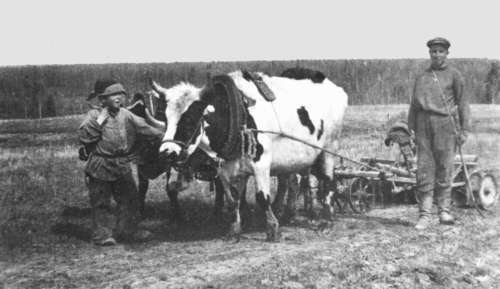The deportee Arvo Virkus ploughs the filed with an ox in Tomsk Oblast, Tšainsk Region, collective farm Sever