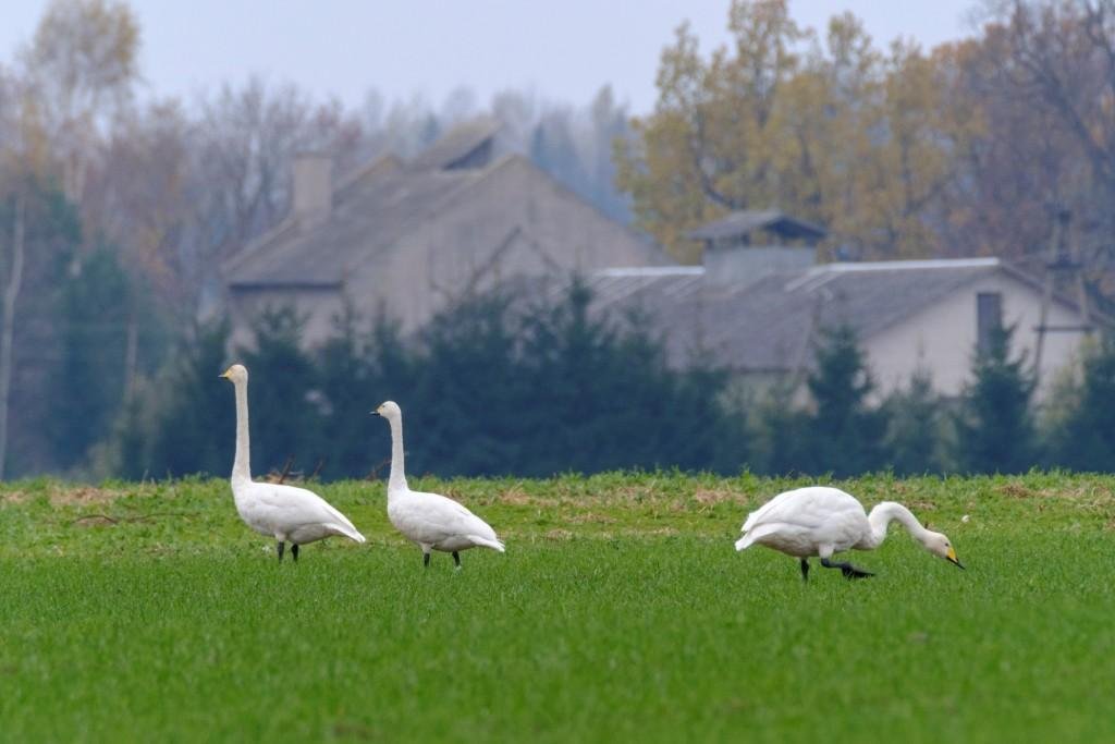 flight-of-the-swans-1-2