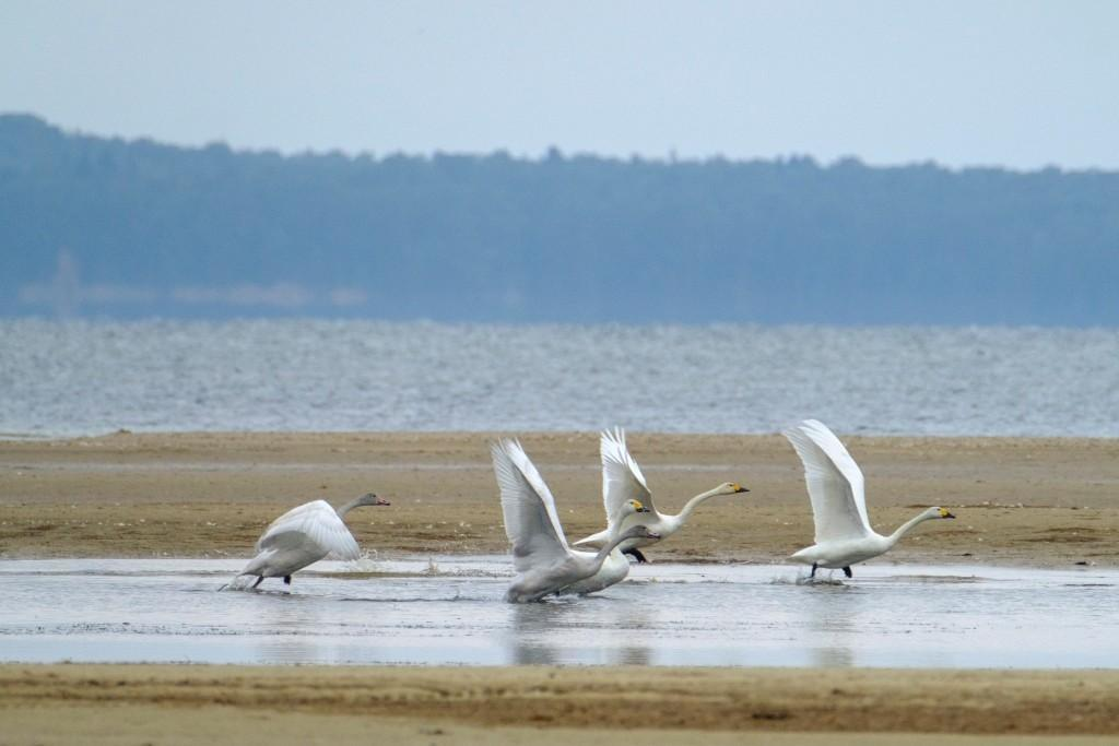 flight-of-the-swans-3